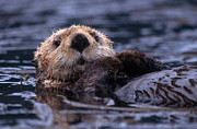 Yva Momatiuk and John Eastcott and Photo Researchers - Sea Otter