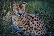Chris Lord - Serval Cat