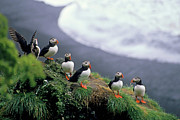 Rock Groups Framed Prints - Six puffins perched on a rock Framed Print by Sami Sarkis