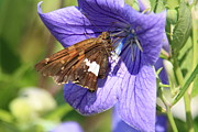 Balloon Flower Posters - Skipper on Balloon Flower Poster by Sue Baker