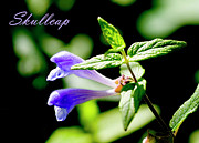 Skullcap Framed Prints - Skullcap Framed Print by Allan MacDonald