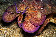 Sami Sarkis - Slipper lobster on seabed