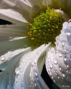 Flower Photographers Art - Snow Daisy No. 5 by Louie Rochon