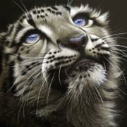 Wildlife Prints - Snow Leopard Cub Print by Jurek Zamoyski