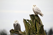 Owl Posters - Snow owls of Boundary bay Poster by Pierre Leclerc