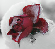 Extreme Floral Images - Snowbound Rose by Kathy Dahmen