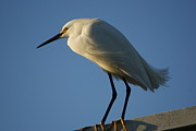 Snowy Egret Originals - Snowy Egret Sunning by John Wright