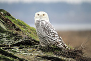 Owls Framed Prints - Snowy Owl at Boundary bay Vancouver Framed Print by Pierre Leclerc