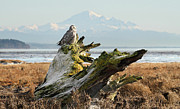 Mt Baker Prints - Snowy Owl in Boundary bay with Mt Baker Print by Pierre Leclerc