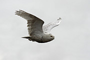Owls Framed Prints - Snowy Owl in flight Framed Print by Pierre Leclerc