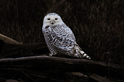 Lawrence Christopher - Snowy Owl Two
