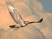 Wingsdomain Art and Photography - Soaring Hawk