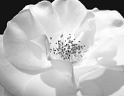 Jennie Marie Schell - Soft Petal Rose in Black and White