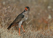 Chanting Prints - Southern Pale Chanting Goshawk Print by Bruce J Robinson
