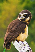 Bill Barber - Spectacled Owl