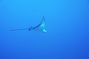 Sami Sarkis - Spotted Eagle ray