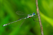 Tom Biegalski - Spreadwing Damselfly