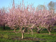 B Rossitto - Spring Orchards I