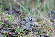 Couronne Posters - Spring White Crowned Sparrow Poster by Jan Piet