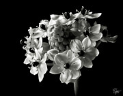 Star Of Bethlehem Photo Posters - Star of Bethlehem in Black and White Poster by Endre Balogh