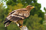 Bill Barber - Steppe Eagle