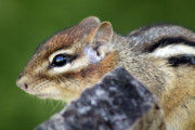 Cathy  Beharriell - Still  Chipmunk