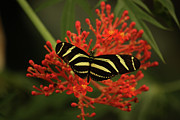 Butterfly Prints Artwork Framed Prints - Striped Butterfly Framed Print by Jason Waugh