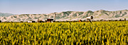 Farm Equipment Prints - Summer Wheatfield Print by Gilbert Artiaga