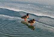 Duck Couple Posters - Sunbath on Ice Poster by Jutta Maria Pusl