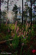 Barbara Bowen - Sunburst on Elegant Liatris