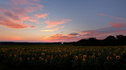 Field Of Flowers Prints - Sunflower Sundown Print by Bill  Wakeley