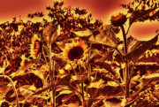 Lawrence Christopher - Sunflowers 7a