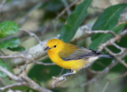 Canary Yellow Prints - Swamp Canary Print by Sandra M Barnes