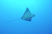 Undersea. Posters - Swimming Spotted Eagle rays Poster by Sami Sarkis