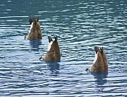 Cathy  Beharriell - Synchronized Swimming