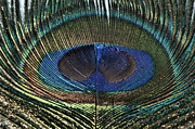 Steve Purnell - The eye of the peacock