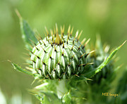 All - Thistle Bud by Margaret Buchanan