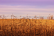 Cornfield Photos - Through the Cornfield by Rachel Cohen