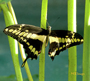 Bugs And Insects - Tiger Swallowtail by Margaret Buchanan