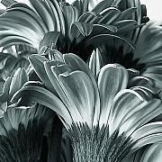 Large Flowers Prints - Tinted Gerbera Daisy Petals  Print by Tony Grider