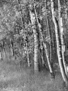 Jennie Marie Schell - Trees in Summer Black and White
