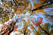 Autumn Prints - Treetops Print by Elena Elisseeva