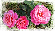 Three Roses Prints - Triple Rose Grunge Print by Barbara Griffin