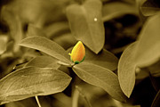 Pictures Photo Originals - Tulip Yellow Flower by Nawal Kishore