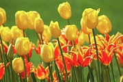 B Rossitto - Tulips yellow and orange