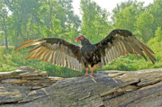 James Steele - Turkey Vulture