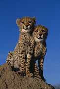 Martin Harvey and Photo Researchers - Two Cheetah Cubs