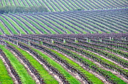 Grapevines Photos - Undulating Vineyard Rows by Jeff Lowe