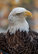 Animals - Veterans Day NYC 11 11 11 Challenger Bald Eagle by Robert Ullmann