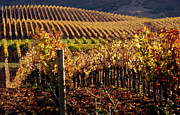 Grape Leaves Photos - Vineyard in Autumn by Jeff Lowe